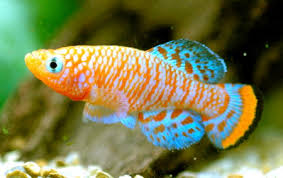 pic of fish. Wonderful Pic Ornamental Fish Keeping Is One Of The Most Popular Hobbies In World  Today The Growing Interest Aquarium Fishes Has Resulted Steady Increase  Inside Pic Of Fish D