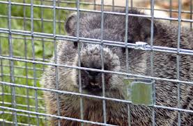 how to keep groundhogs out of my garden. Contemporary Keep These Claws Can Come In Handy When They Are Fighting Which Not  Afraid To Do When Active Make A Chattering Sound Until Decide Rest  On How To Keep Groundhogs Out Of My Garden S