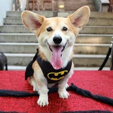 a welsh corgi wally dressed in a batman costume for in new york