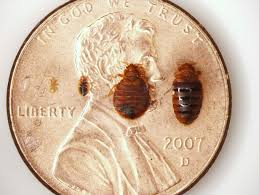 Size Of Bed Bugs Chart Here You Can See Bedbugs At Different Life Stages In