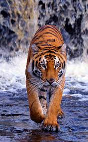 Tiger Wallpaper 2400×3840 #31309