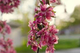 tree pink sunset malusroyalty s