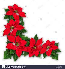 Rot Weihnachtsstern Blumen Dekoration Euphorbia Pulcherrima