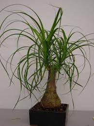Image detail for -PonyTail Palm (Desk and floor plant)