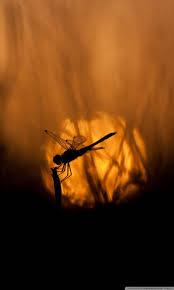 Dragonfly At Sunset Ultra HD Desktop ...