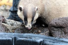 Free asian badger picture
