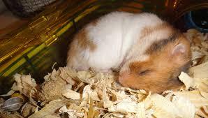 Resultado de imagem para hamster