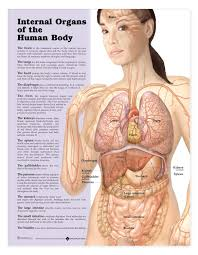 Woman Anatomy Chart Internal Organs Of The Human Body Anatomical Chart