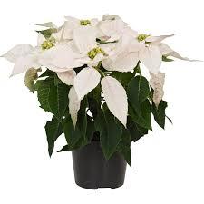 Weihnachtsstern Princettia Pearl Weiß Topf ø Ca 13 Cm