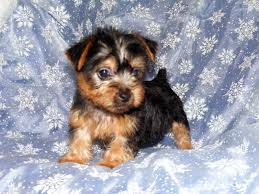 silky dog. australian silky terrier puppy review breed dog