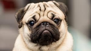 Je nach herkunft, verwendung und aussehen sind hunde in 10 hunderassen gruppen laut fci unterteilt. Qualzucht Bei Hunden 10 Hunderassen Die Leiden Mussen Partner Hund Herz Fuer Tiere De