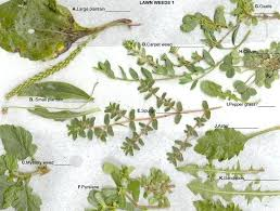 Florida Lawn Weeds Identification Cooksscountry Com