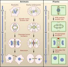 Plant Cells Vs Animal Cells Venn Diagram Mitosis Plants Vs Animals Cell Division
