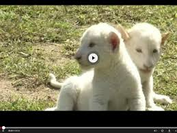 newborn white lion cubs. Simple Newborn White Lion Cubs At South Koreau0027s Everland Zoo Throughout Newborn Lion Cubs R