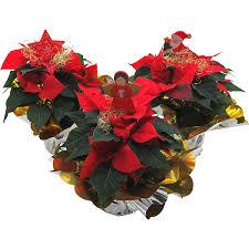 Weihnachtsstern In Manschette Dekoriert Topf ø Ca 105 Cm