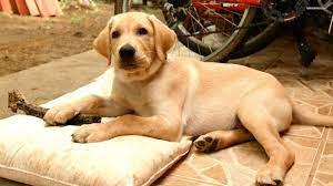 Labrador retriever, Labrador dog