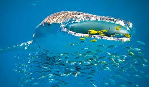 underwater ocean wallpapers. Fine Wallpapers Whale Shark Underwater Ocean Sea Wallpaper On Underwater Ocean Wallpapers A
