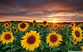 Sunflower Computer Wallpapers - Top ...