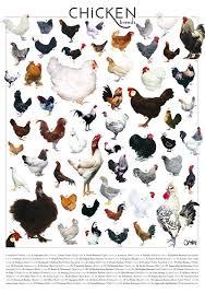 Chicken Breeds Poster Chicken Breeds Pet Chickens