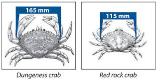 Crab Species Chart Crab Harvesting Information Bc Sport Fishing Guide