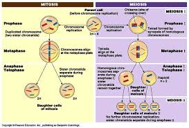 Mitosis Versus Meiosis Chart Printables Comparing Mitosis And Meiosis Bebodevelopers