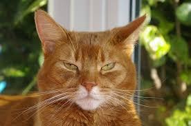 11 orange cat breeds with pictures
