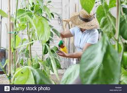 woman in vegetable garden sprays pesticide on leaf of plant care of plants for growth concept