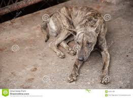 Dog Sleep Pattern Awesome Tiger Pattern Homeless Dog Sleep On The Dirty Floor Stock Photo