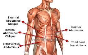 Stomach Muscle Chart Abdominal Muscle Anatomy Abdominal Muscles Anatomy Ab