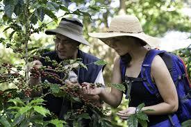 Red and green coffee cherries. Costa Rica Coffee Farm Tours Coffee Tastings
