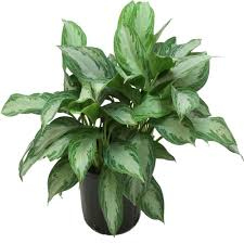 home depot green bay costa farms aglaonema silver bay in 9 25 in grower pot 10aglo the