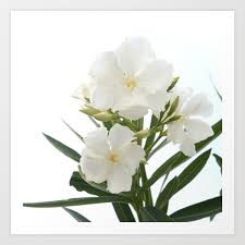 White Oleander Flowers Close Up Isolated On White Background Art Print by  taiche