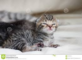 newborn gray kittens. Fine Gray Download Newborn Small Kitten Stock Image Image Of Cute Adorable   61818725 For Gray Kittens H
