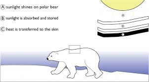 similiar polar bear diagram keywords polar bear diagram body diagram of polar bears photo album wire