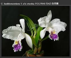 Орхидеи: уход, фото, продажа, выращивание.. Cattleya lueddemanniana |  Cattleya & Laelia & Sophronitis