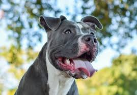 Average Pitbull Weight Chart Blue Nose Pitbull Pictures Characteristics Price Health