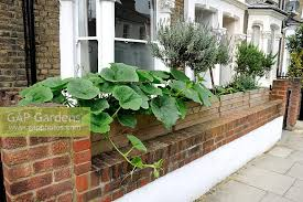 squash growing from a large wooden box trough over the front garden wall highbury