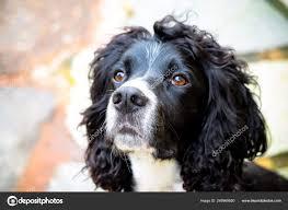 Black White Cocker Spaniel Dog ⬇ Stock ...