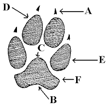 Canine Vs Feline Tracks How To Tell The Difference