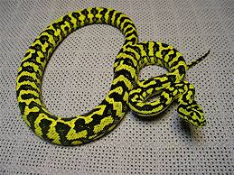 jungle carpet python zebra jungle e37 carpet