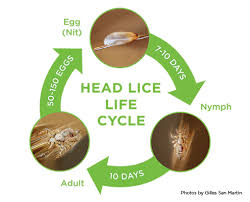 Lice Facts Get educated and prevent lice in the future