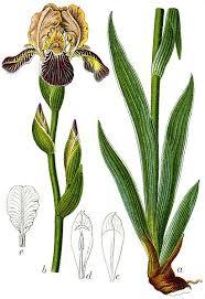 File:Iris sambucina Sturm55.jpg - Wikimedia Commons