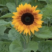 copper queen sunflower 2