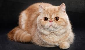 exotic shorthair. Simple Exotic Exotic Shorthair On Black Background Inside