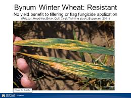 Stripe rust and foliar fungicide use Dr. Mary Burrows Montana ... & Bynum Winter Wheat: Resistant No yield benefit to tillering or flag  fungicide application (Priaxor Adamdwight.com
