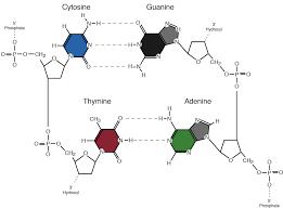 Nucleotides And Bases Genetics Generation