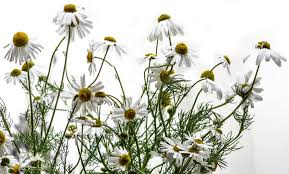 Image result for roman chamomile plants white background