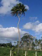 a coconut tree essay  a coconut tree essay