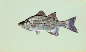 Of Louisiana Department And Bass Fisheries White Wildlife