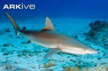 blue shark videos photos and facts prionace glauca arkive blacknose shark carcharhinus acronotus